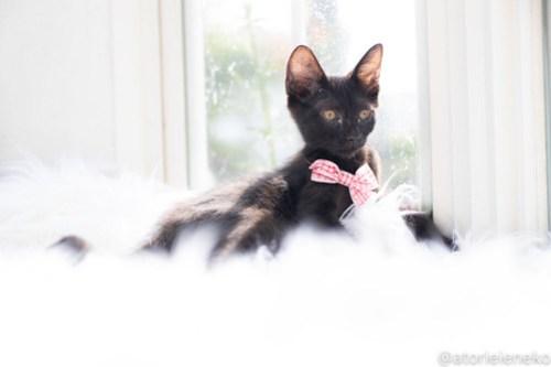 アトリエイエネコ Cat Photographer 30110360128_d483c9b697 1日1猫!高槻ねこのおうち 里活中のひじきちゃん♪ 1日1猫!  黒猫 高槻ねこのおうち 里親様募集中 猫写真 猫カフェ 猫 子猫 大阪 初心者 写真 保護猫カフェ 保護猫 スマホ キジ猫 カメラ Kitten Cute cat