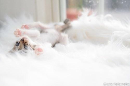 アトリエイエネコ Cat Photographer 30110416668_128c03e9fc 1日1猫!高槻ねこのおうち 里活中のなみちゃん♪ 1日1猫!  高槻ねこのおうち 里親様募集中 猫写真 猫カフェ 猫 子猫 大阪 初心者 写真 保護猫 Kitten Cute cat