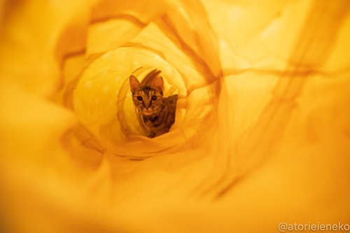 アトリエイエネコ Cat Photographer 43855056451_80fa58f5a1 1日1猫!保護猫カフェウリエルへ行ってきた(2/2)♪ 1日1猫!  里親様募集中 猫写真 猫カフェ 猫 子猫 大阪 初心者 写真 保護猫カフェウリエル 保護猫カフェ 保護猫 中崎町 スマホ カメラ ウリエル Kitten Cute cat