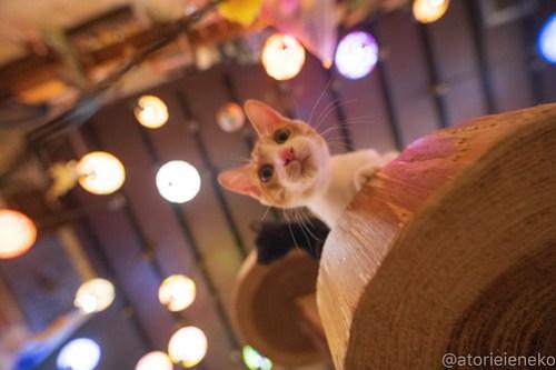 アトリエイエネコ Cat Photographer 43855004621_5ffa1cb4f0 1日1猫!保護猫カフェウリエルへ行ってきた(1/2)♪ 1日1猫!  里親様募集中 猫写真 猫カフェ 猫 大阪 初心者 写真 保護猫カフェウリエル 保護猫カフェ 保護猫 中崎町 スマホ カメラ ウリエル Kitten Cute cat