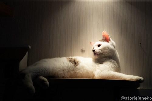 アトリエイエネコ Cat Photographer 27742413208_500ac29cc3 1日1猫!小さな猫カフェ「ペルちゃん」に行ってきた その3♪ 1日1猫!  里親様募集中 猫写真 猫 守口市 子猫 大阪 写真 保護猫カフェ 保護猫 ペルちゃん スマホ Kitten Cute cat