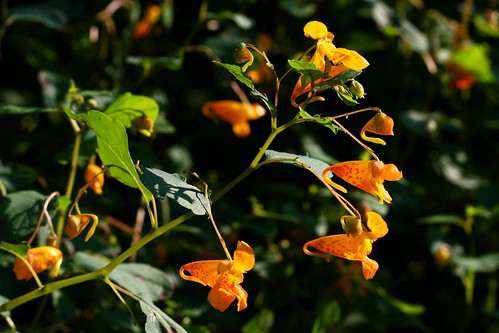 jewelweed cluster