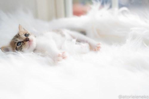 アトリエイエネコ Cat Photographer 30110416118_bdbf64e445 1日1猫!高槻ねこのおうち 里活中のなみちゃん♪ 1日1猫!  高槻ねこのおうち 里親様募集中 猫写真 猫カフェ 猫 子猫 大阪 初心者 写真 保護猫 Kitten Cute cat