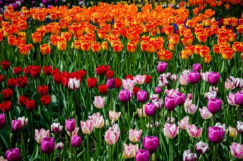 Roozengaarde Tulips-042