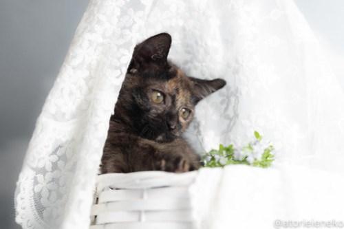 アトリエイエネコ Cat Photographer 29982340368_2616592fe4 1日1猫!おおさかねこ俱楽部 里活中のミチルちゃんです♪ 1日1猫!  里親様募集中 猫写真 猫カフェ 猫 子猫 大阪 写真 保護猫カフェ 保護猫 ニャンとぴあ サビ猫 カメラ おおさかねこ倶楽部 Kitten Cute cat