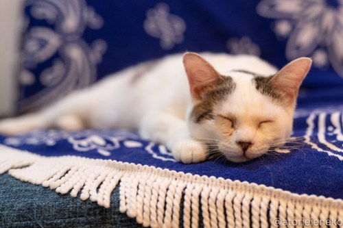 アトリエイエネコ Cat Photographer 43665256582_a76509aa59 1日1猫!小さな猫カフェペルちゃん2周年記念こねこがいっぱいにゃん 1日1猫!  里親様募集中 猫写真 猫カフェ 猫 小さな猫カフェペルちゃん 守口市 守口 子猫 大阪 写真 保護猫カフェ ペルちゃん Cute cat