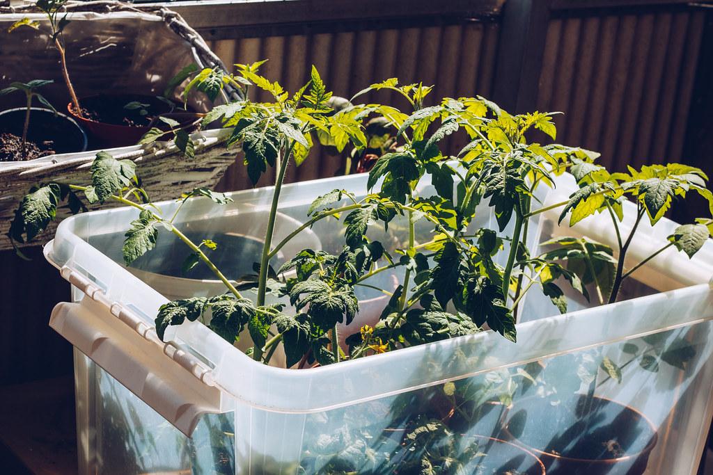 Tomater på balkongen - reaktionista.se
