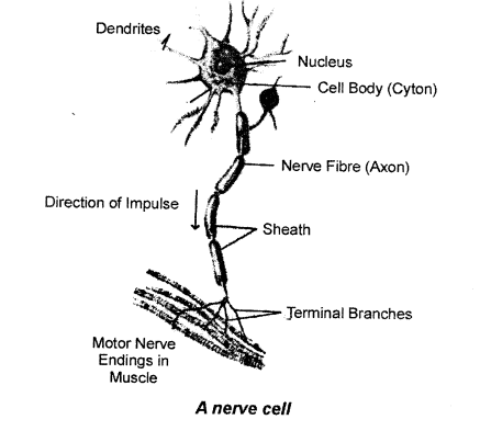 selina-concise-biology-class-7-icse-Nerves-0211