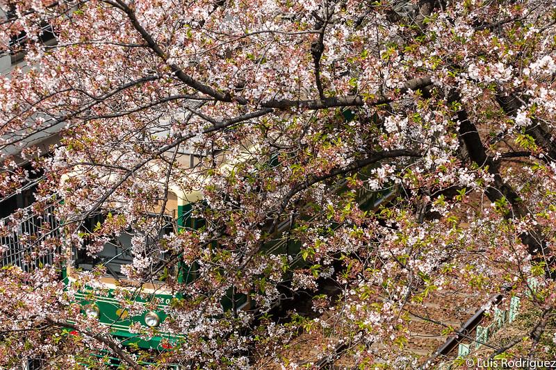 Disfrutar de los cerezos yendo en tranvía por Tokio es posible con el Sakura Tram