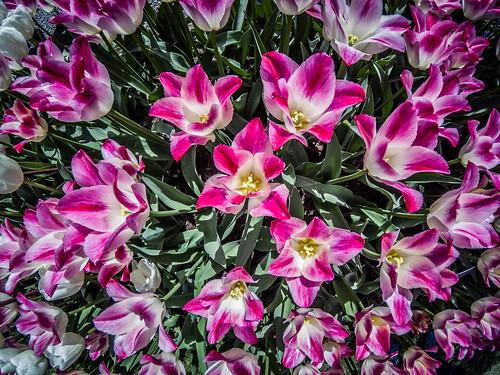 Skagit Valley Tulips-180