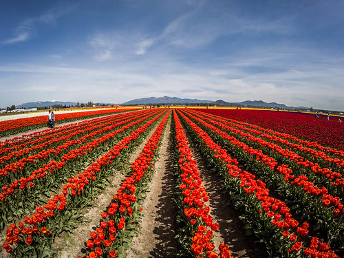 Skagit Valley Tulips-241