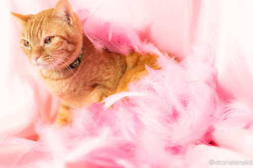 アトリエイエネコ Cat Photographer 42074396041_95c2266de3 1日1猫!おおさかねこ倶楽部 里親様募集中のクリちゃん♪ 1日1猫!  里親様募集中 猫写真 猫カフェ 猫 子猫 大阪 初心者 写真 保護猫カフェ 保護猫 ニャンとぴあ スマホ カメラ おおさかねこ倶楽部 Kitten Cute cat