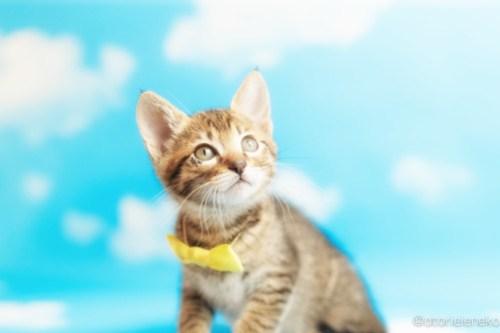アトリエイエネコ Cat Photographer 26999643467_6438aafc46 1日1猫!おおさかねこ倶楽部 里親様募集中のはたくん&タイくん&カツオくん♪ 1日1猫!  里親様募集中 猫写真 猫カフェ 猫 子猫 大阪 初心者 写真 保護猫カフェ 保護猫 ニャンとぴあ カメラ おおさかねこ倶楽部 Kitten Cute cat