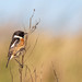 Male Stonechat...