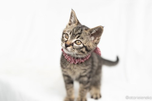 アトリエイエネコ Cat Photographer 41908324732_8c3fc1525d 1日1猫!高槻ねこのおうち 幸せ組の子猫たち♪ 1日1猫!  高槻ねこのおうち 里親様募集中 譲渡会 猫写真 猫 子猫 大阪 写真 保護猫 スマホ カメラ Kitten Cute cat