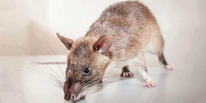 rats_tuberculose_peu_onéreux_2018