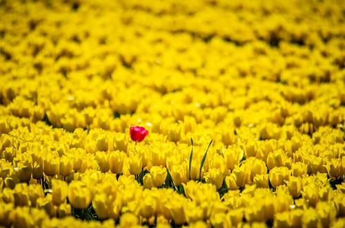 Skagit Valley Tulips-228