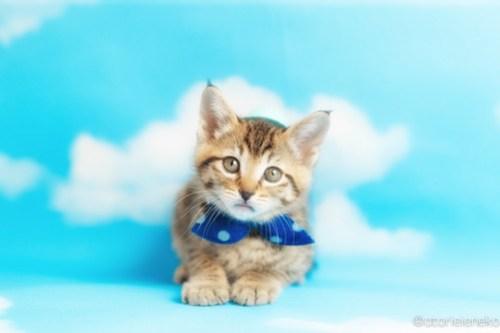 アトリエイエネコ Cat Photographer 41824847452_1e39edbb06 1日1猫!ニャンとぴあキャッツ 里親様募集中のハタくん♪ 1日1猫!  里親様募集中 猫写真 猫カフェ 猫 子猫 大阪 初心者 写真 保護猫カフェ 保護猫 ニャンとぴあ スマホ キジ猫 カメラ おおさかねこ倶楽部 Kitten Cute cat