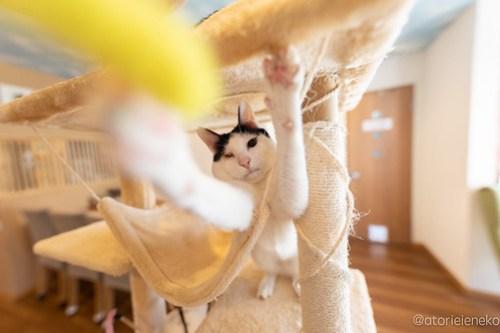 アトリエイエネコ Cat Photographer 41138162465_fdc62892a1 保護猫カフェ 森のねこ舎 (や)のブログ