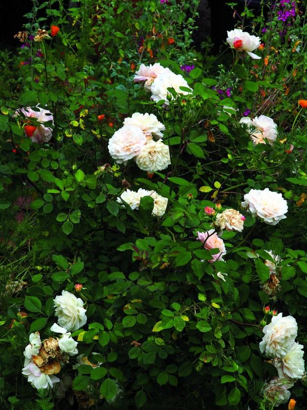 Gruss an Aachen rose (P5132015)