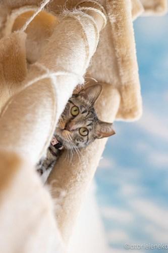 アトリエイエネコ Cat Photographer 41993988002_b7ed9e80d3 1日1猫!保護猫カフェ 森のねこ舎 (や)に行ってきた♪その3 1日1猫!  里親様募集中 猫写真 猫カフェ 猫 森のねこ舎 子猫 大阪 初心者 写真 保護猫カフェ 保護猫 スマホ カメラ Kitten Cute cat