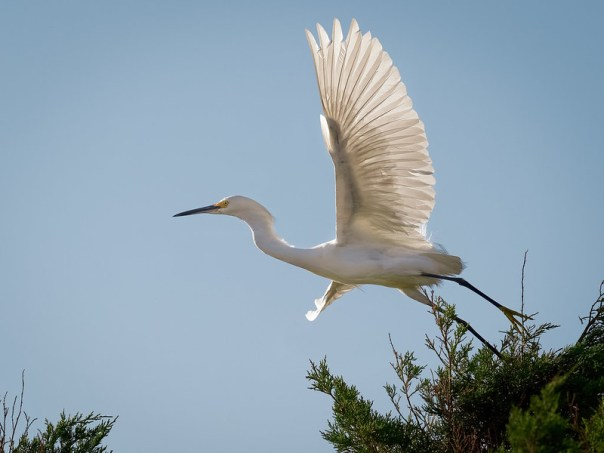 Great Egret Launch