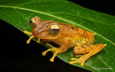 Almendariz's treefrog, Hypsiboas almendarizae