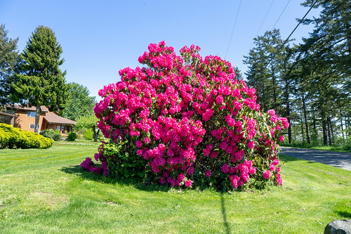 Samish Island Rhododendrons