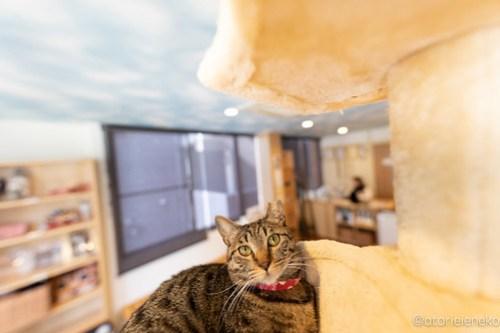 アトリエイエネコ Cat Photographer 41993984292_7699187084 1日1猫!保護猫カフェ 森のねこ舎 (や)に行ってきた♪その3 1日1猫!  里親様募集中 猫写真 猫カフェ 猫 森のねこ舎 子猫 大阪 初心者 写真 保護猫カフェ 保護猫 スマホ カメラ Kitten Cute cat