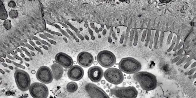 bactérie_anticorps_intestin_humain_2018