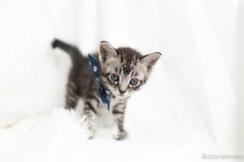 アトリエイエネコ Cat Photographer 41234427564_0f10ee4201 1日1猫!高槻ねこのおうち まなぶちゃん♪ 1日1猫!  高槻ねこのおうち 里親様募集中 猫写真 猫 子猫 大阪 写真 保護猫 スマホ キジ猫 カメラ Kitten Cute cat