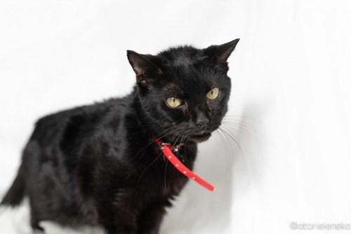 アトリエイエネコ Cat Photographer 41908314432_5987f834aa あーちゃんが亡くなりました 1日1猫!  高槻ねこのおうち