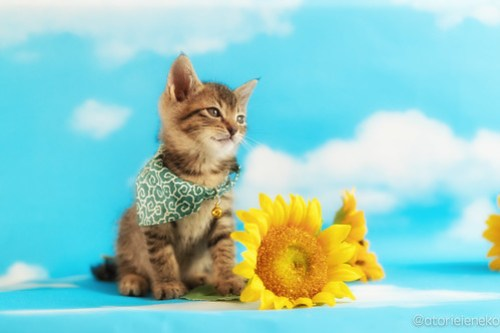 アトリエイエネコ Cat Photographer 41824787642_4818f3a2f2 1日1猫!ニャンとぴあキャッツ 里親様募集中のカツオくん♪ 1日1猫!  里親様募集中 猫写真 猫 子猫 大阪 写真 保護猫カフェ 保護猫 ニャンとぴあ スマホ キジ猫 カメラ おおさかねこ倶楽部 Kitten Cute cat