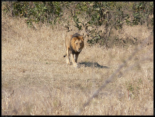 Lion at Matjula