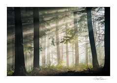 Forest Beams