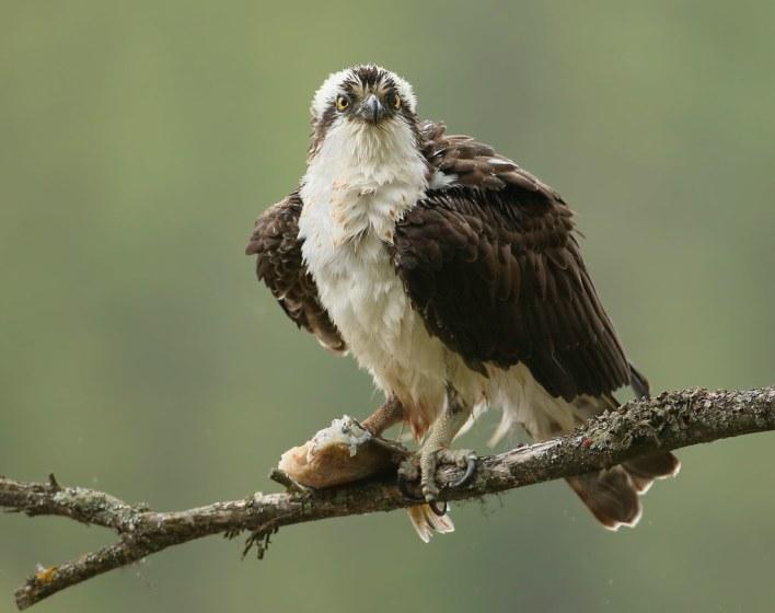 Osprey, Mealtime