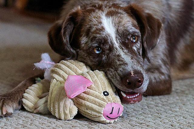おもちゃで遊んで留守番している犬