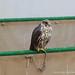 Falcon Souq