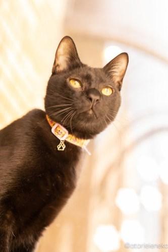 アトリエイエネコ Cat Photographer 40230567390_2ca9b5b1a4 1日1猫!保護猫カフェ 森のねこ舎 (や)に行ってきた♪その3 1日1猫!  里親様募集中 猫写真 猫カフェ 猫 森のねこ舎 子猫 大阪 初心者 写真 保護猫カフェ 保護猫 スマホ カメラ Kitten Cute cat
