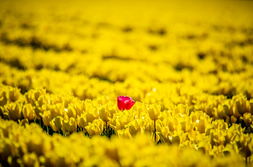 Skagit Valley Tulips-231