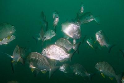 Plenty of Rhabdosargus sarba Tarwhine #marineexplorer