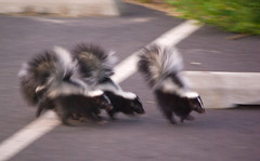 Baby Skunks (and gunshots)b