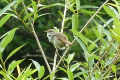 四季の森公園のウグイス(Shikinomori Park, Japan)