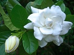 Hawaiian Gardenia