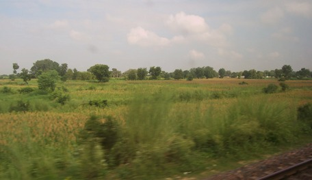 bajra fields