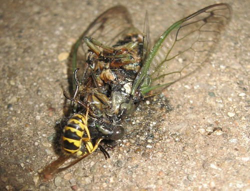 Yellow Jacket eating dead Cicada