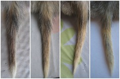 Napoleon's Tail Fur Growth...after starting me...
