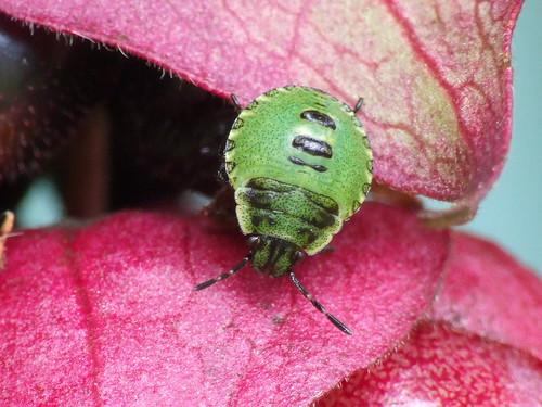 "Green Stink Bug"" aka ""Green Soldier Bug"