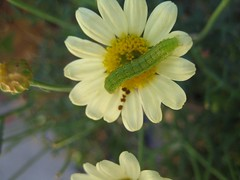 Worm on a Daisy.JPG