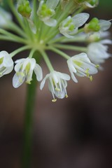 Leek Blossom Closeup - August 6